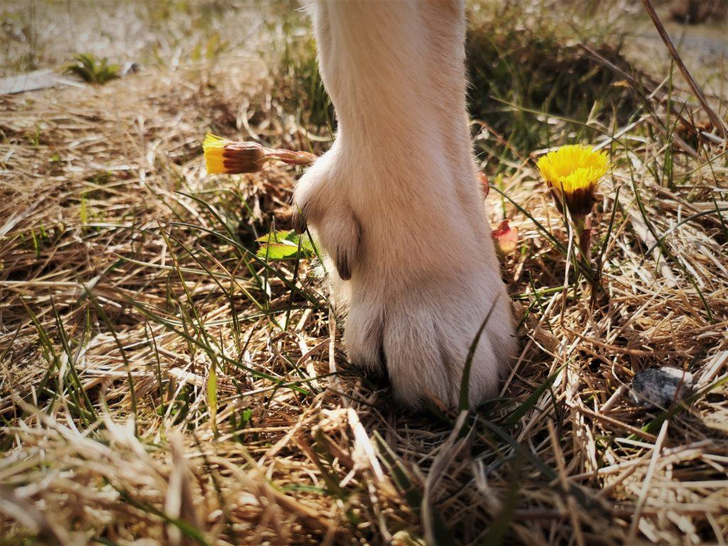 Ulveklør sporer buhund